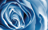 Light Blue Roses Wallpaper  15 Desktop Background