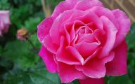 Pink Rose Wallpaper  21 Cool Wallpaper