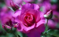 Pink Rose Wallpaper For Desktop  12 Widescreen Wallpaper