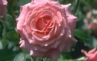 Pink Rose Wallpaper For Desktop  5 Desktop Wallpaper