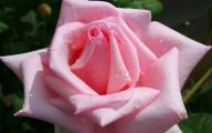 Pink Rose Wallpaper For Desktop  6 Background Wallpaper