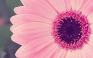 Pink Rose Wallpaper With Blue Daisy  11 Background Wallpaper