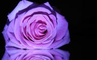 Purple Rose Wallpaper  53 High Resolution Wallpaper
