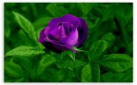 Purple Rose Wallpaper Desktop  11 Free Hd Wallpaper