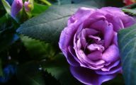 Purple Rose Wallpaper Desktop  5 Desktop Wallpaper