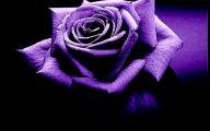 Purple Rose Wallpaper Home  1 Hd Wallpaper