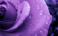 Purple Rose Wallpaper Home  12 Widescreen Wallpaper
