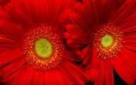 Red Flower Hd Wallpapers For Desktop  7 Desktop Wallpaper