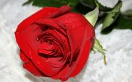 Red Rose Wallpaper Hd  2 Free Wallpaper