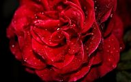 Red Roses Wallpaper  1 Desktop Background
