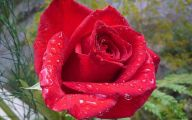 Red Roses Wallpapers Free  14 Desktop Wallpaper