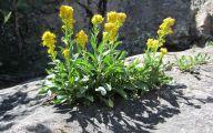 Rocky Mountain Flowers Identification 31 Wide Wallpaper