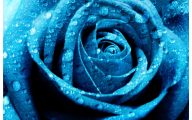 Wallpaper Of Blue Roses  2 High Resolution Wallpaper
