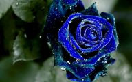 Wallpaper Of Blue Roses  9 Background