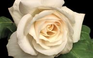 White Rose Wallpapers  4 High Resolution Wallpaper