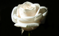 White Roses Wallpaper  2 Background