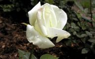 White Roses Wallpapers For Desktop  13 Desktop Background