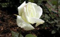 White Roses Wallpapers For Desktop  13 Desktop Background