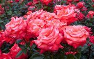 White Roses Wallpapers For Desktop  19 Desktop Background