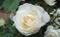 White Roses Wallpapers For Desktop  9 High Resolution Wallpaper