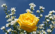 Yellow Rose Wallpaper  3 High Resolution Wallpaper