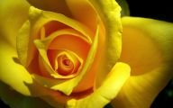 Yellow Rose Wallpaper  46 Cool Wallpaper
