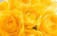 Yellow Rose Wallpapers  12 Background