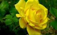 Yellow Rose Wallpapers  14 Cool Hd Wallpaper