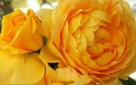 Yellow Rose Wallpapers  16 Desktop Wallpaper