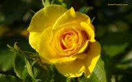 Yellow Rose Wallpapers  20 Free Hd Wallpaper