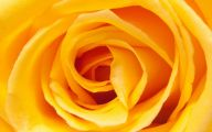 Yellow Rose Wallpapers  6 Cool Hd Wallpaper