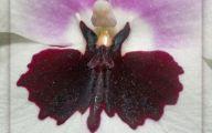 Bat Orchid 23 High Resolution Wallpaper