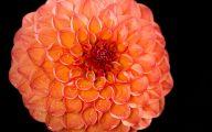 Black Dahlia Flower 40 Background Wallpaper