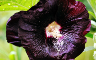 Black Magic Hollyhock 24 Cool Hd Wallpaper