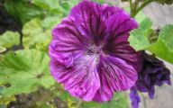 Black Magic Hollyhock 4 Free Hd Wallpaper