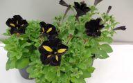 Black Velvet Petunia 20 Cool Hd Wallpaper