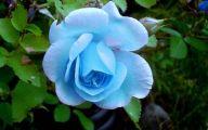 Blue Rose Flower  29 Hd Wallpaper
