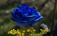 Blue Rose Flower Images  8 Free Hd Wallpaper