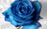 Blue Rose Flowers  11 Hd Wallpaper