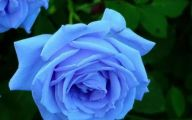 Blue Rose Flowers  12 Desktop Background