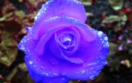 Blue Rose Flowers  13 Desktop Wallpaper