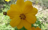 Cosmos Flower Wallpapers  1 Cool Hd Wallpaper