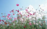 Cosmos Flower Wallpapers  11 Background Wallpaper