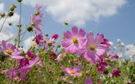 Cosmos Flower Wallpapers  12 Cool Hd Wallpaper