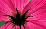 Cosmos Flower Wallpapers  14 Cool Wallpaper