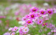 Cosmos Flower Wallpapers  17 Background
