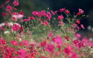 Cosmos Flower Wallpapers  18 Background