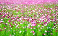 Cosmos Flower Wallpapers  22 Free Hd Wallpaper