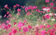 Cosmos Flower Wallpapers  24 Background Wallpaper