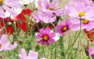 Cosmos Flower Wallpapers  25 Widescreen Wallpaper